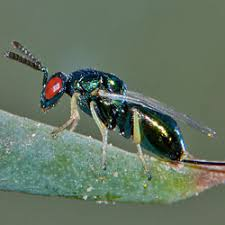 Beneficial Insects (Macrobials)